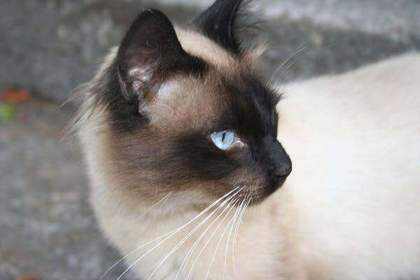 Glanders (Farcy) in Cats - Symptoms, Causes, Diagnosis, Treatment, Recovery, Management, Cost