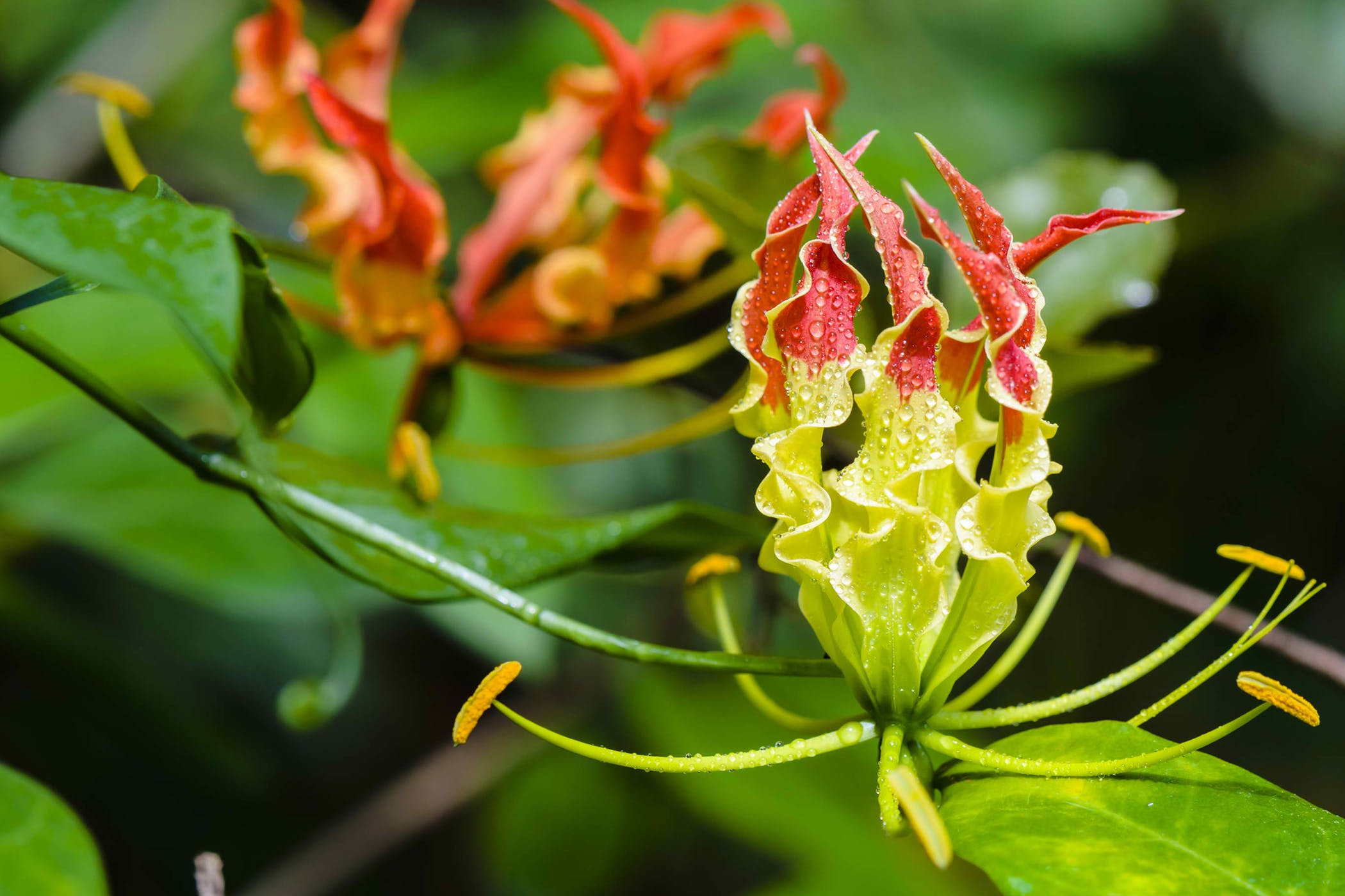 Gloriosa Lily Poisoning In Cats Symptoms Causes