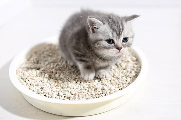 Glucose in the Urine in Cats - Symptoms, Causes, Diagnosis, Treatment, Recovery, Management, Cost