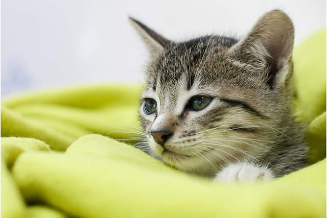 Glycogen Storage Disease in Cats - Symptoms, Causes, Diagnosis, Treatment, Recovery, Management, Cost