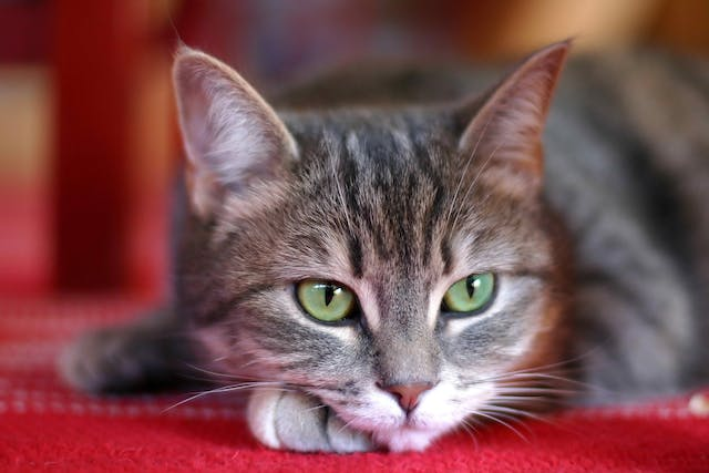 Gonioimplantation in Cats - Conditions Treated, Procedure, Efficacy, Recovery, Cost, Considerations, Prevention