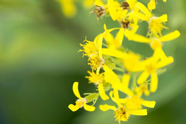 Groundsel Poisoning in Cats - Symptoms, Causes, Diagnosis, Treatment, Recovery, Management, Cost