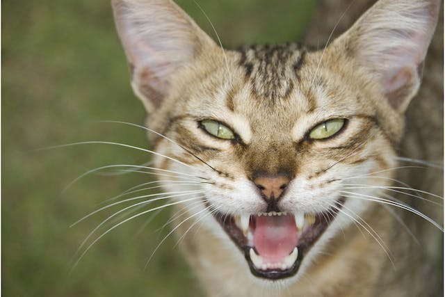 Gum Disease in Cats - Symptoms, Causes, Diagnosis, Treatment, Recovery, Management, Cost