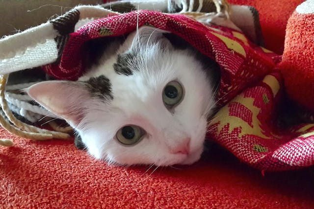 Hairballs in Cats - Symptoms, Causes, Diagnosis, Treatment, Recovery, Management, Cost