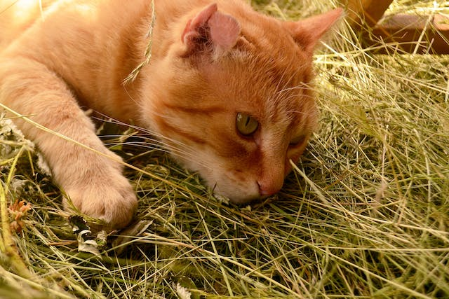 Hay Allergy in Cats - Symptoms, Causes, Diagnosis, Treatment, Recovery, Management, Cost