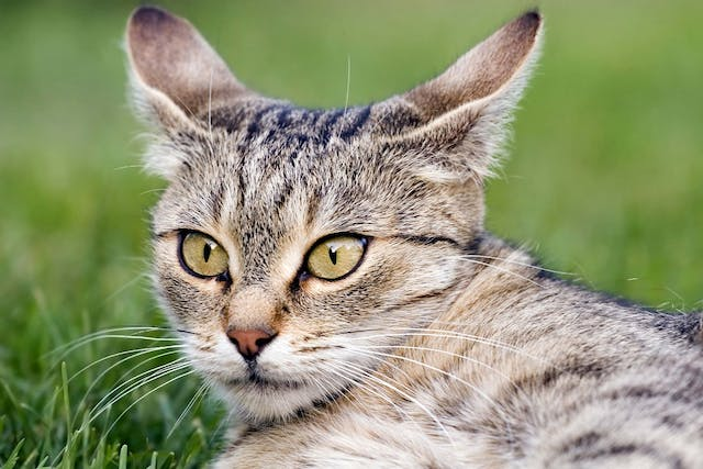 Head Pressing in Cats - Symptoms, Causes, Diagnosis, Treatment, Recovery, Management, Cost