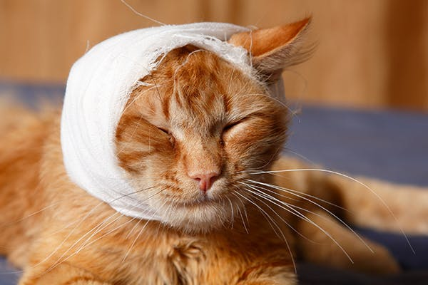 Head Trauma in Cats - Symptoms, Causes, Diagnosis, Treatment