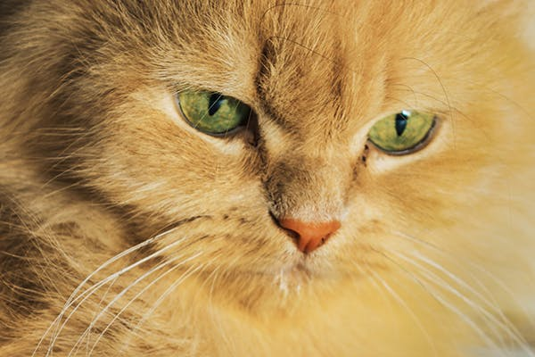 Heart and Lung Disease in Cats - Symptoms, Causes, Diagnosis, Treatment, Recovery, Management, Cost