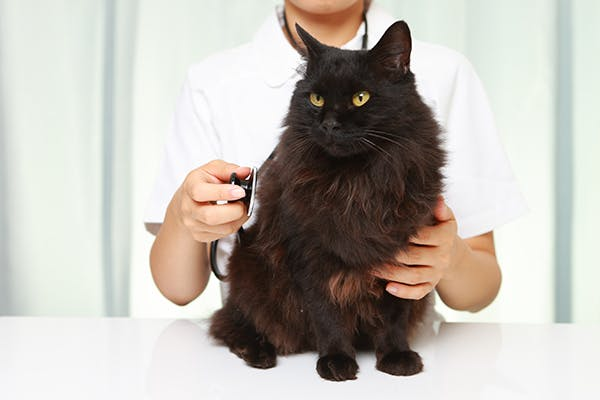 Heart Tumors in Cats - Symptoms, Causes, Diagnosis, Treatment, Recovery, Management, Cost