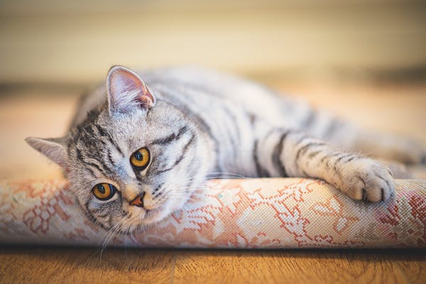 Heart Valve Infection In Cats Symptoms Causes