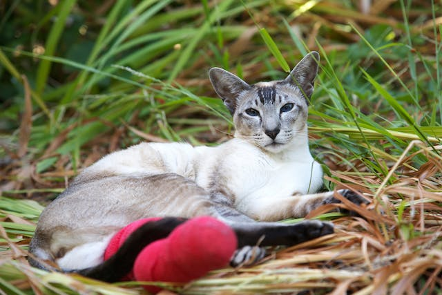 Hemipelvectomy in Cats - Conditions Treated, Procedure, Efficacy, Recovery, Cost, Considerations, Prevention
