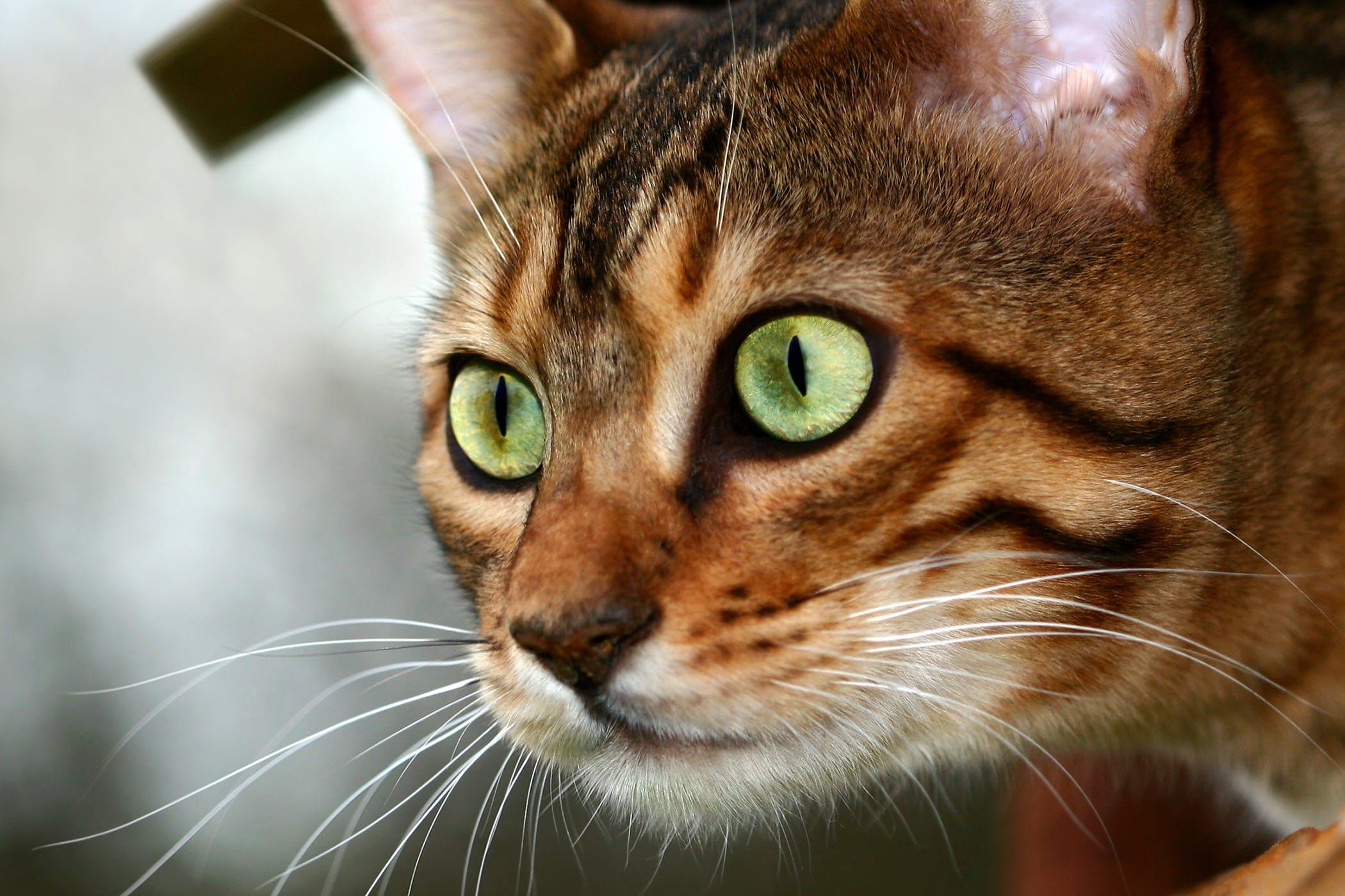 Hepatocellular Carcinoma in Cats
