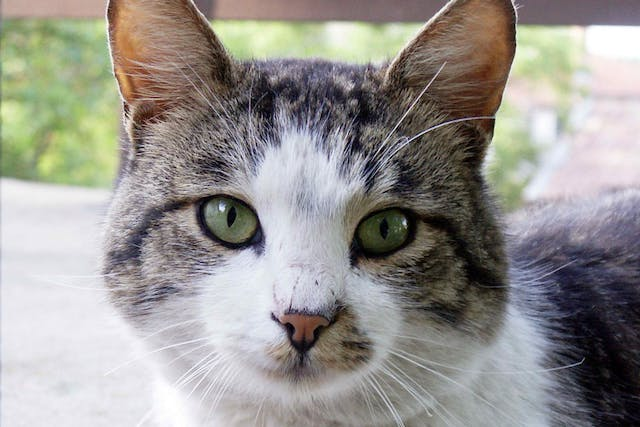 Hepatozoonosis in Cats - Symptoms, Causes, Diagnosis, Treatment, Recovery, Management, Cost