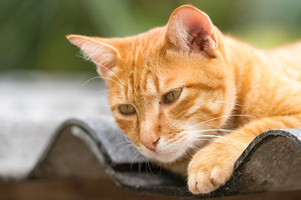 Hiatal Hernia in Cats - Symptoms, Causes, Diagnosis, Treatment, Recovery, Management, Cost