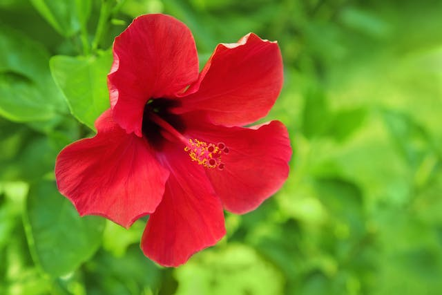 Hibiscus Poisoning in Cats - Symptoms, Causes, Diagnosis, Treatment, Recovery, Management, Cost
