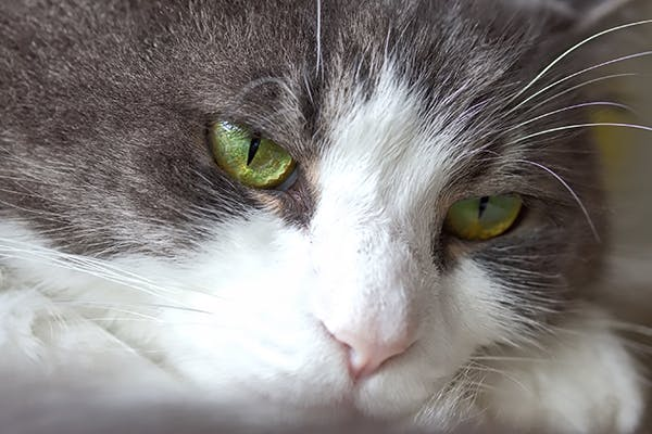 High Blood Pressure in Cats - Symptoms, Causes, Diagnosis, Treatment, Recovery, Management, Cost