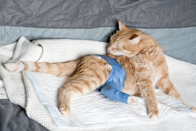 Hip Reduction in Cats - Conditions Treated, Procedure, Efficacy, Recovery, Cost, Considerations, Prevention