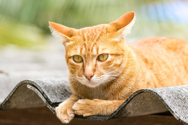 Histoplasmosis in Cats - Symptoms, Causes, Diagnosis, Treatment, Recovery, Management, Cost