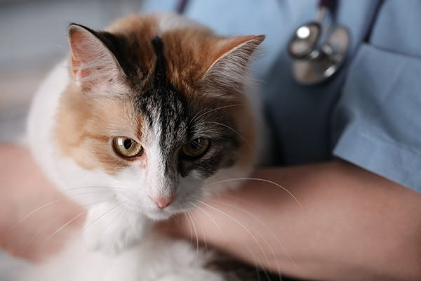 Horner's Syndrome in Cats - Symptoms, Causes, Diagnosis, Treatment, Recovery, Management, Cost