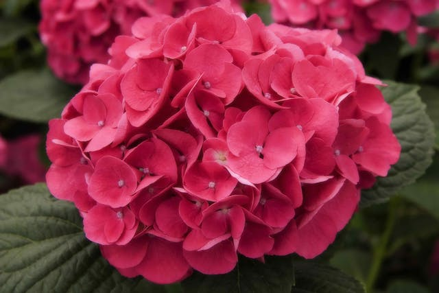 Hydrangea Poisoning in Cats - Symptoms, Causes, Diagnosis, Treatment, Recovery, Management, Cost
