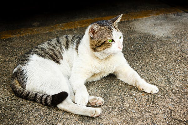 Hyperparathyroidism in Cats - Symptoms, Causes, Diagnosis, Treatment, Recovery, Management, Cost