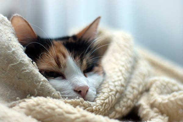 Hypothermia in Cats - Symptoms, Causes, Diagnosis, Treatment, Recovery, Management, Cost
