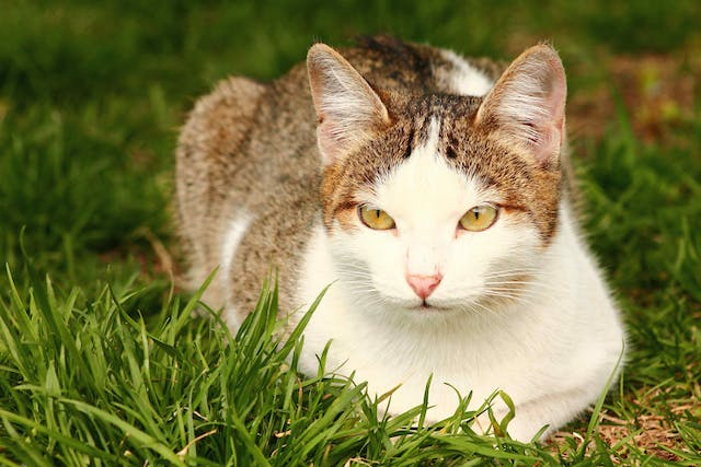 Hysterectomy in Cats - Conditions Treated, Procedure, Efficacy, Recovery, Cost, Considerations, Prevention
