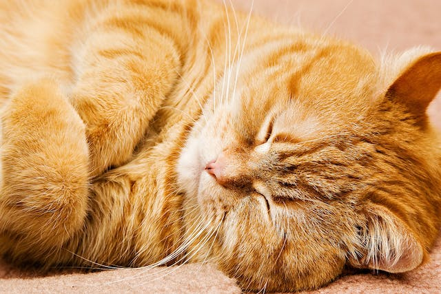 Iams Allergy in Cats - Symptoms, Causes, Diagnosis, Treatment, Recovery, Management, Cost
