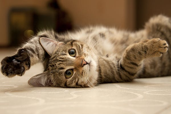 Idiopathic Epilepsy in Cats - Symptoms, Causes, Diagnosis, Treatment, Recovery, Management, Cost