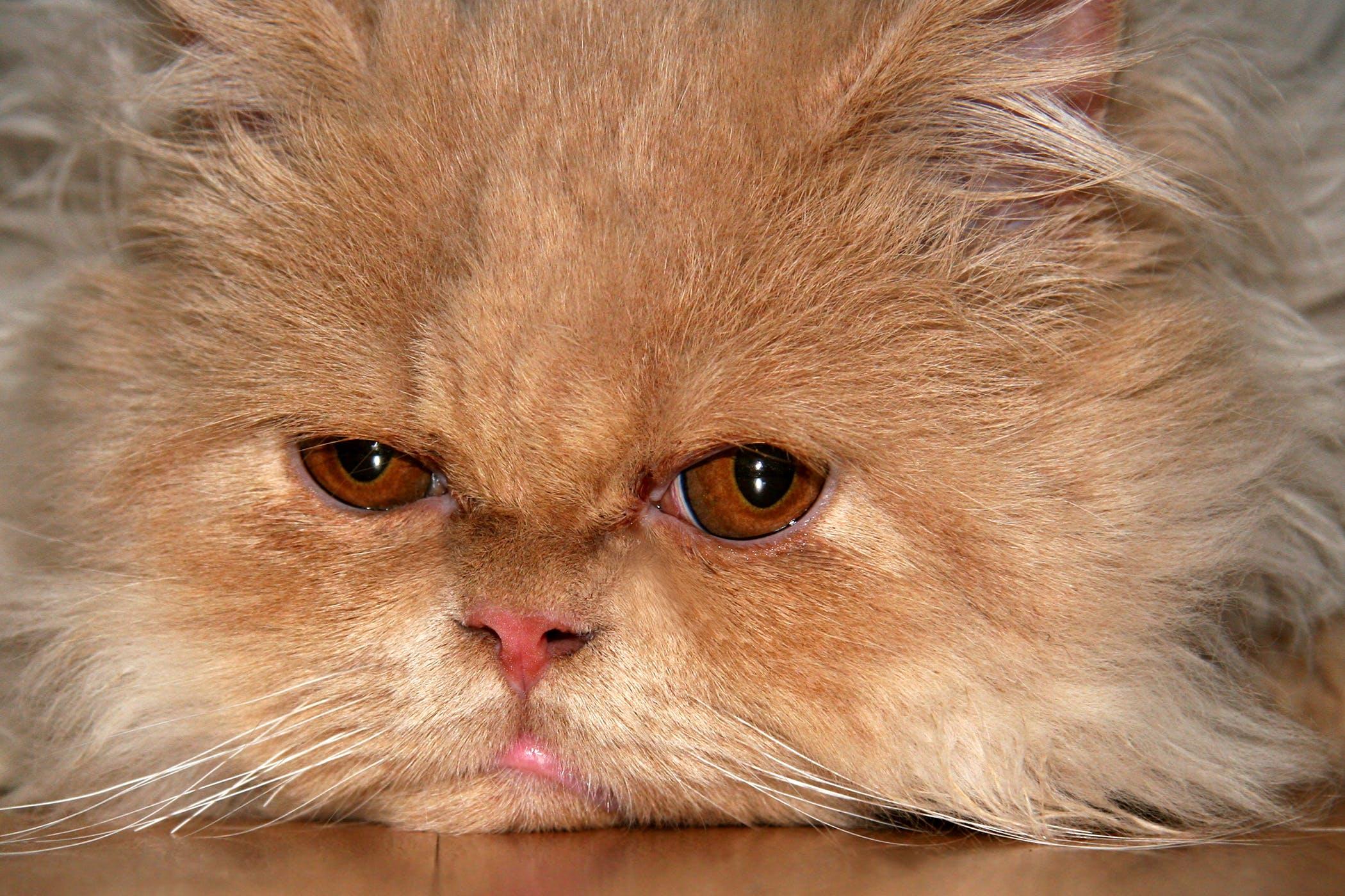 Immune-Mediated Polyarthritis in Cats