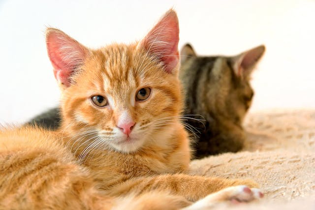 Immune System Tumors in Cats - Symptoms, Causes, Diagnosis, Treatment, Recovery, Management, Cost