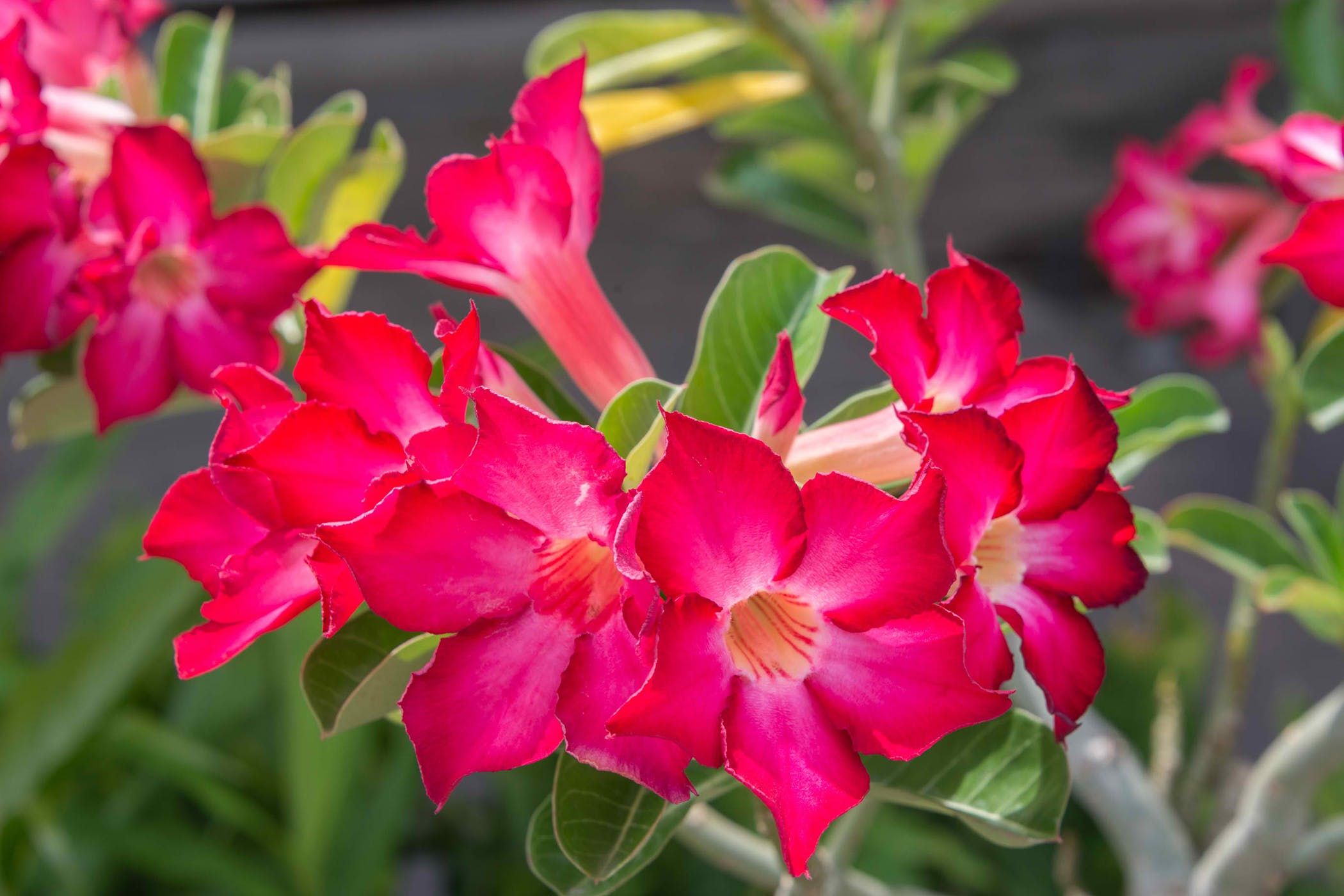 Impala Lily Poisoning In Cats Symptoms Causes