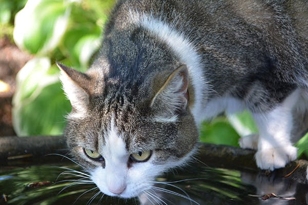 Increased Urination And Thirst in Cats - Symptoms, Causes, Diagnosis, Treatment, Recovery, Management, Cost