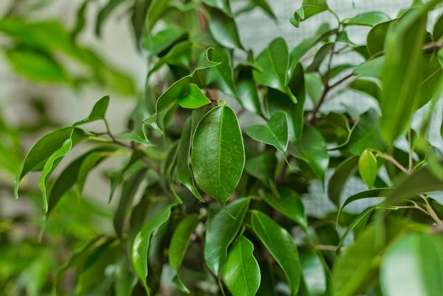 Indian Rubber Plant Poisoning in Cats - Symptoms, Causes, Diagnosis, Treatment, Recovery, Management, Cost
