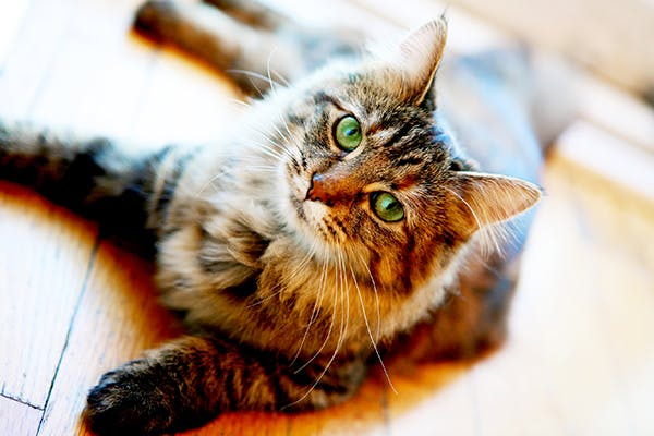 Infertility of Female in Cats - Symptoms, Causes, Diagnosis, Treatment, Recovery, Management, Cost