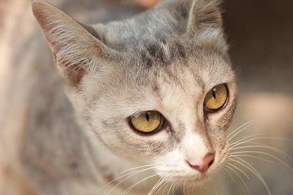 Inflammation of the Abdomen in Cats