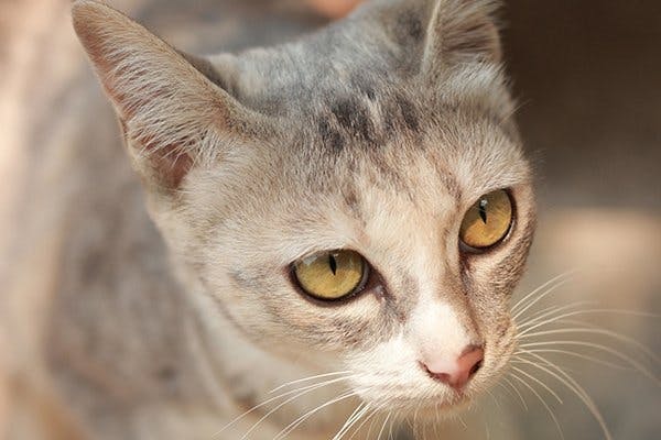 Inflammation of the Abdomen in Cats - Symptoms, Causes, Diagnosis, Treatment, Recovery, Management, Cost