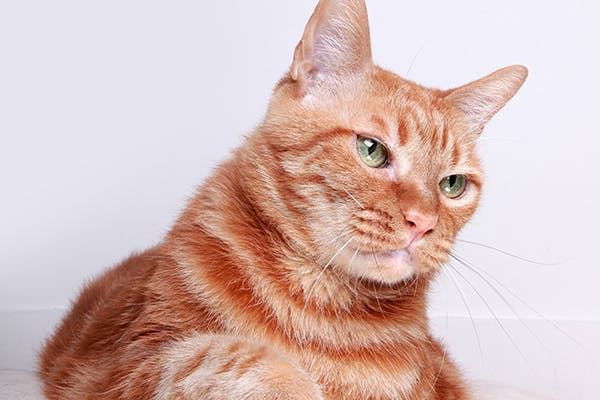 Inflammation of Bone in Cats