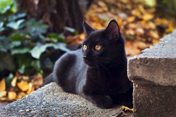 Inflammation of Rectum and Anus in Cats - Symptoms, Causes, Diagnosis, Treatment, Recovery, Management, Cost