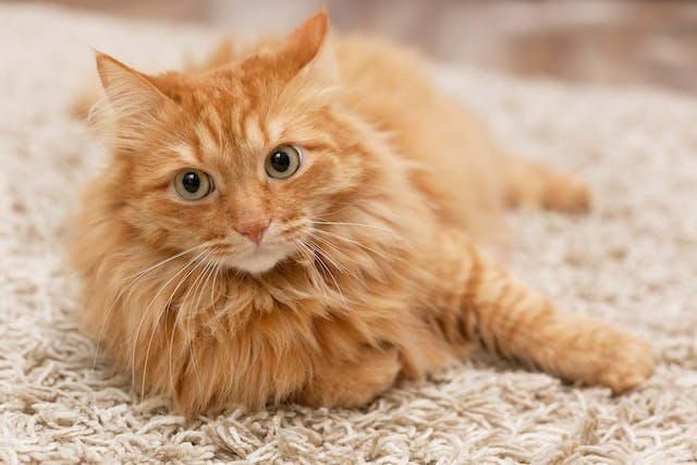 Inflammatory Muscle Diseases in Cats - Symptoms, Causes, Diagnosis, Treatment, Recovery, Management, Cost