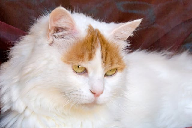 Inherited Corneal Disease in Cats - Symptoms, Causes, Diagnosis, Treatment, Recovery, Management, Cost