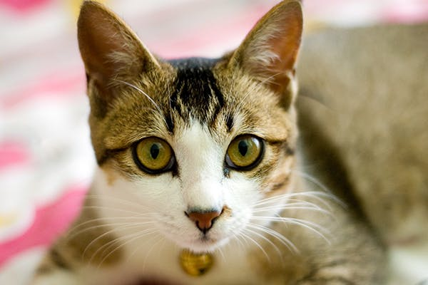 Inherited Skin Diseases in Cats - Symptoms, Causes, Diagnosis, Treatment, Recovery, Management, Cost