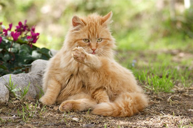 Injections Of Growth Hormone in Cats - Conditions Treated, Procedure, Efficacy, Recovery, Cost, Considerations, Prevention