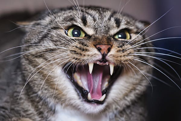 Inter-Cat Agression in Cats