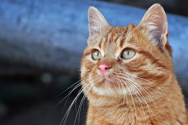 Intestinal Obstruction in Cats - Symptoms, Causes, Diagnosis, Treatment, Recovery, Management, Cost