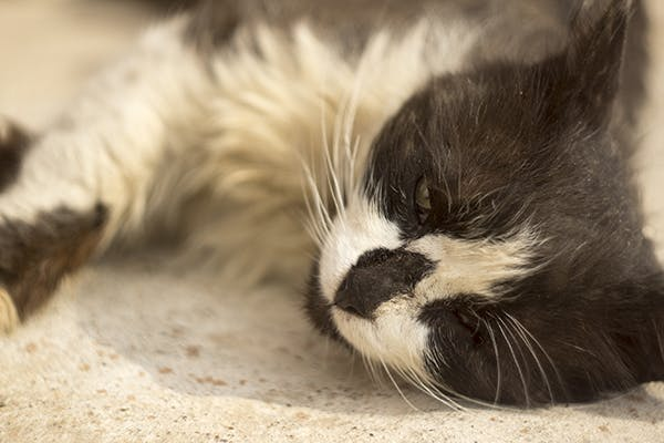 Intestinal Tumor In Cats Symptoms Causes Diagnosis Treatment Recovery Management Cost
