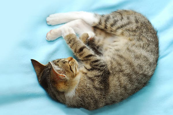 Intestinal Viral Infection in Cats - Symptoms, Causes, Diagnosis, Treatment, Recovery, Management, Cost