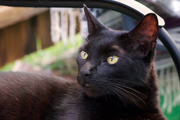 Iris Cysts in Cats - Symptoms, Causes, Diagnosis, Treatment, Recovery, Management, Cost