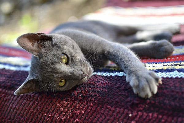 Iris Prolapse in Cats - Symptoms, Causes, Diagnosis, Treatment, Recovery, Management, Cost