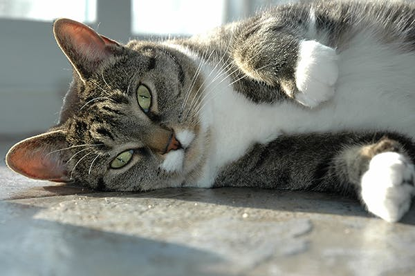 Irregular Heart Rhythms in Cats - Symptoms, Causes, Diagnosis, Treatment, Recovery, Management, Cost
